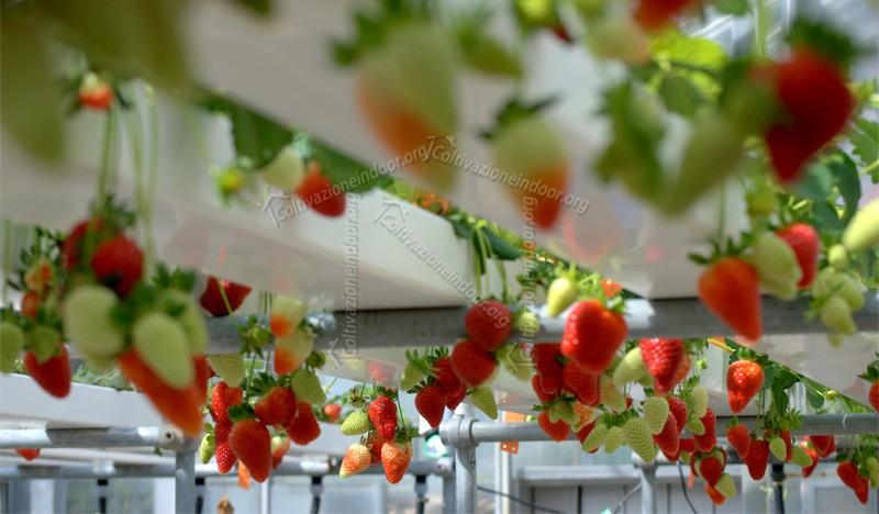 La Coltivazione Idroponica Applicata alle Fragole