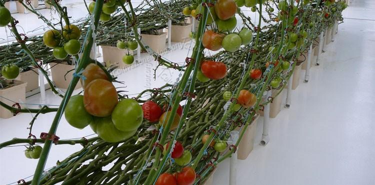 Coltivazione Idroponica per Pomodori
