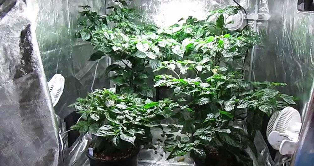 La coltivazione indoor del peperoncino